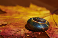 Snail shell on autumn leaf background. Snail shell on the autumn yellow-red maple leaf background. Focus on shell Stock Image