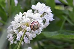 Snail, Shell, Blossom, Bloom Royalty Free Stock Photography