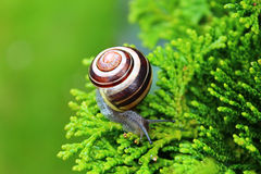 Snail with shell on the branch. Of a green Bush Stock Photos
