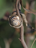 Snail shell on branch Royalty Free Stock Photography