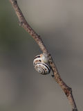 Snail shell on branch Stock Images
