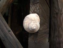 Snail shell on dark wood Royalty Free Stock Photo