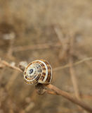 Snail shell. An empty snail shell on a branch Stock Images