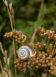 Snail shell on the faded yarrow royalty free stock photo