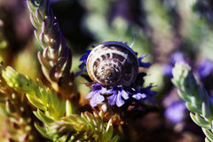 Snail shell and flowers. Snail on flower. snail shell and violet flowers Royalty Free Stock Photos