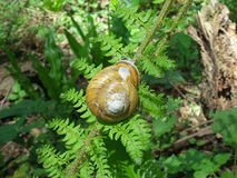 Snail in a shell on green fern leaf Royalty Free Stock Photo