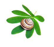 Snail shell on a green leaf isolated Royalty Free Stock Images