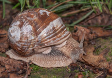 Snail. Shell-house on the ground on the dry leaves and moss Stock Images