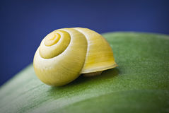 Snail with shell on leaf. Snail with shell lying on the green leaf with blue background Stock Images