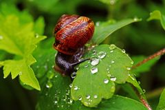 A snail with snail shell on a leaf of a columbine with raindrops Stock Photography