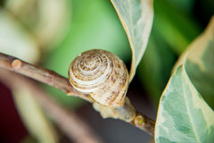 Snail shell in the leaves. Picture attracts soft natural colors. the picture snail out of its shell on a branch of the plant Stock Images