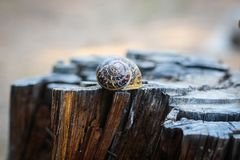 Snail shell over an old tree stump in the forest. Snail shell over an old tree stump Royalty Free Stock Image