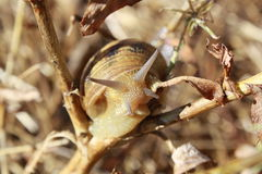 Snail with shell Stock Images