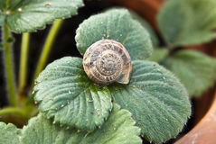 Snail shell on a plant's leaf Royalty Free Stock Photography