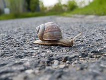 Snail with a shell on the road Royalty Free Stock Images