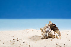 Snail shell in sand at beach Stock Images
