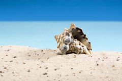 Snail shell in sand at beach Royalty Free Stock Photography