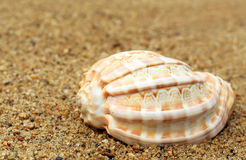 Snail shell in a sea beach Royalty Free Stock Image