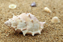 Snail shell in a sea beach Royalty Free Stock Photo
