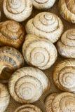 Snail shell. Sink snail. Modern Land shellfish Royalty Free Stock Photo