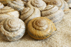 Snail shell. Sink snail. Modern Land shellfish Stock Images
