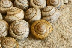Snail shell. Sink snail. Modern Land shellfish Royalty Free Stock Photography