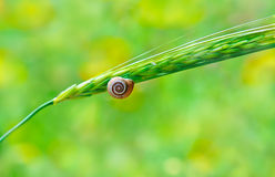 Snail in a shell sitting on the ear Stock Photos