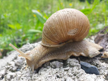 Snail with shell on the stone. Royalty Free Stock Photography