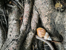 Snail shell on tree root Royalty Free Stock Image