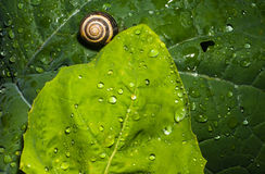 Snail shell on wet leaves Stock Photos