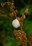 Snail. Shell on withered plant Royalty Free Stock Photography