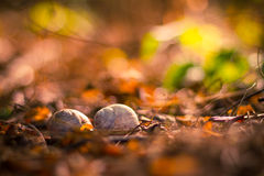 Snail shells on autumn background Royalty Free Stock Image