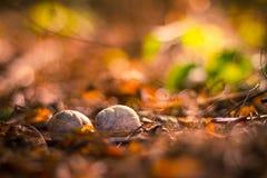 Snail shells on autumn background Royalty Free Stock Image