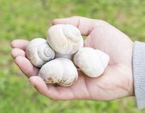 Snail shells in hand Stock Images