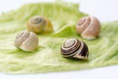 Snail shells. On the lettuce leaf royalty free stock photos