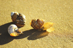 Snail shells on the sand Stock Images