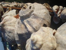 Snail shells on string Stock Images
