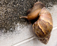 Snail show a slow life and slow business Royalty Free Stock Images