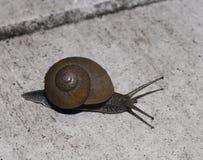Snail on Sidewalk Stock Image