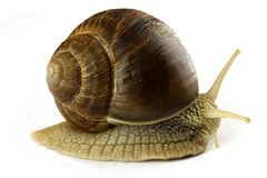Snail. Single snail isolated on white stock images