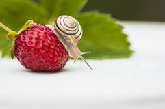 The snail sits on a Berries. The snail sits on a Strawberry Royalty Free Stock Photo
