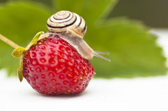 The snail sits on a Berries. The snail sits on a Strawberry Stock Image