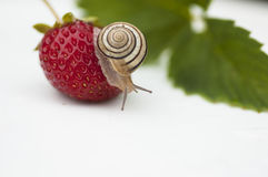 The snail sits on a Berries. The snail sits on a Strawberry Royalty Free Stock Photos