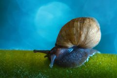 The snail sits on the stalk. Snail of Achatina craveni sits on a green stalk against a blue fairy sky Royalty Free Stock Images