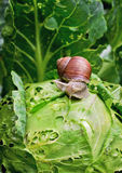Snail is sitting on cabbage in the garden. Close-up Snail is sitting on cabbage in the gardenn, leaves with holes, eaten by pests Royalty Free Stock Photo