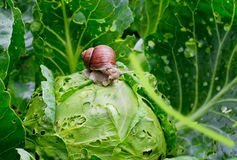 Snail is sitting on cabbage in the garden royalty free stock image