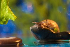 Snail on the lake Stock Image
