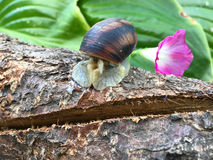 Snail sitting on tree branch. And released its antennae forward Royalty Free Stock Images