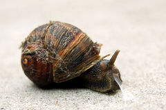 Snail with slime Stock Photography