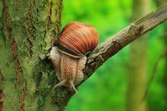 Snail on the slope. Hefty such a snail. stock image